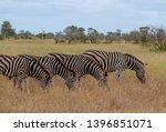 zebras photographed at kruger... | Shutterstock . vector #1396851071