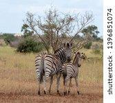 zebras photographed at kruger... | Shutterstock . vector #1396851074
