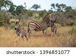 zebras photographed at kruger... | Shutterstock . vector #1396851077