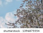 blooming cherry tree sakura in... | Shutterstock . vector #1396875554