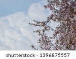 blooming cherry tree sakura in... | Shutterstock . vector #1396875557