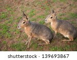 dolichotis patagonum | Shutterstock . vector #139693867