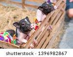 Miniature Pigs In The Farm