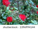 Roses For Backgrounds Or Slide...