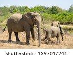 african elephant wildlife south ... | Shutterstock . vector #1397017241