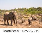 african elephant wildlife south ... | Shutterstock . vector #1397017244