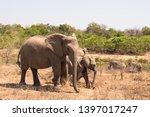 african elephant wildlife south ... | Shutterstock . vector #1397017247