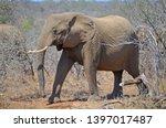 african elephant wildlife south ... | Shutterstock . vector #1397017487