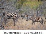 african zebra wildlife south... | Shutterstock . vector #1397018564