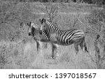 african zebra wildlife south... | Shutterstock . vector #1397018567