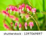 garden flower   lamprocapnos... | Shutterstock . vector #1397069897