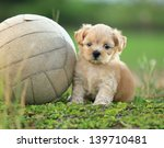 Stock photo cute puppy playing ball 139710481