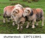 group of lakeland herdwick... | Shutterstock . vector #1397113841