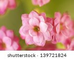 Blooming Kalanchoe Flower....