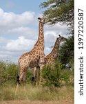 giraffes eating leaves from... | Shutterstock . vector #1397220587