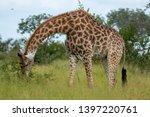 giraffe in the bush ... | Shutterstock . vector #1397220761