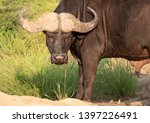 african buffalo looking angry   ... | Shutterstock . vector #1397226491