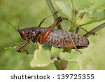 grasshopper from ecuador | Shutterstock . vector #139725355