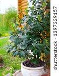 growing bay leaf growing in a... | Shutterstock . vector #1397329157