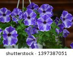 pink and violet petunia... | Shutterstock . vector #1397387051