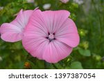 pink and violet petunia... | Shutterstock . vector #1397387054