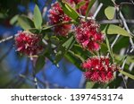 Red Flowers Of The Broad Leaved ...