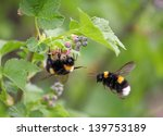 Two Bumblebee  The First One O...