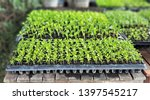 the microgreen in plastic trays ... | Shutterstock . vector #1397545217