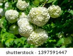 beautiful white balls of... | Shutterstock . vector #1397591447