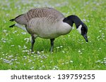 Canada Goose Eating Grass On A...