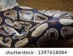 Large Snake Curled Up Into A...