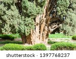 zoroastrian cypress tree of... | Shutterstock . vector #1397768237
