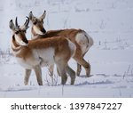 Two Pronghorn Antelope  A Buck...