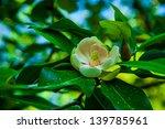 Magnolia Virginiana  Most...