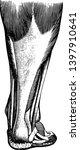 tendons are white glistening... | Shutterstock .eps vector #1397910641