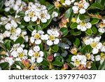 Bearberry Cotoneaster ...
