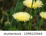 smooth golden fleece... | Shutterstock . vector #1398123464