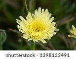 smooth golden fleece... | Shutterstock . vector #1398123491