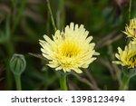 smooth golden fleece... | Shutterstock . vector #1398123494