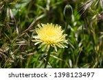 smooth golden fleece... | Shutterstock . vector #1398123497