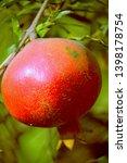 the pomegranate botanical name... | Shutterstock . vector #1398178754