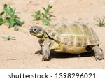 Stock photo the russian tortoise agrionemys horsfieldii also commonly known as the afghan tortoise the 1398296021