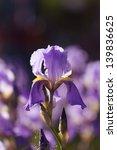 Beautiful Iris Flower In Nature