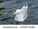 Stock photo wild herring gull larus argentatus in zoo 1398576284