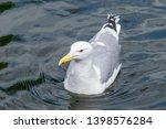 Stock photo wild herring gull larus argentatus in zoo 1398576284