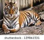 A Tiger Sitting In A Zoo.