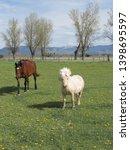 White Pony A Brown Horse - Fine Art prints