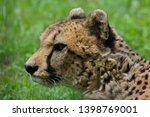 cheetah  acinonyx jubatus .... | Shutterstock . vector #1398769001