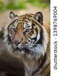 sumatran tiger  panthera tigris ... | Shutterstock . vector #1398769004