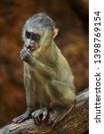 little drill monkey  mandrillus ... | Shutterstock . vector #1398769154